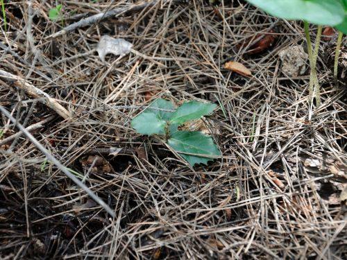 1-9 Novembre 2016 – Pianosa, Missione Life e Tesi Quercus ilex