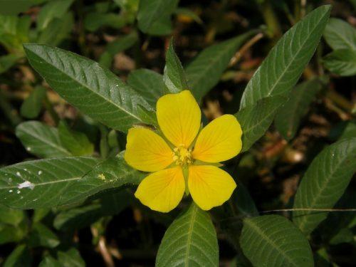Prima segnalazione di Ludwigia peploides subsp. montevidensis in Toscana