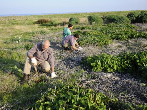 Ancora Island Restoration a Giannutri – campagna 2018
